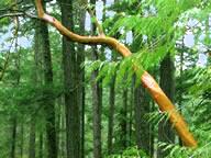 arbutus-rainforest