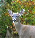 wicca-spirituality mabon buck deer