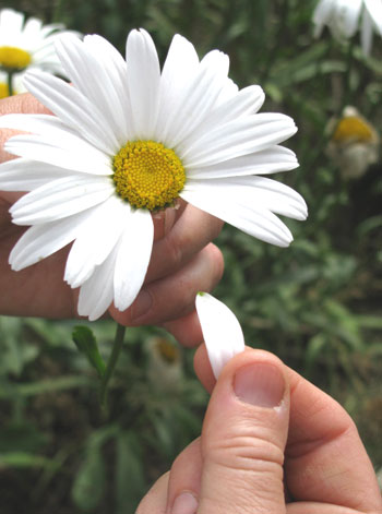 wicca-spirituality Divination with Daisies